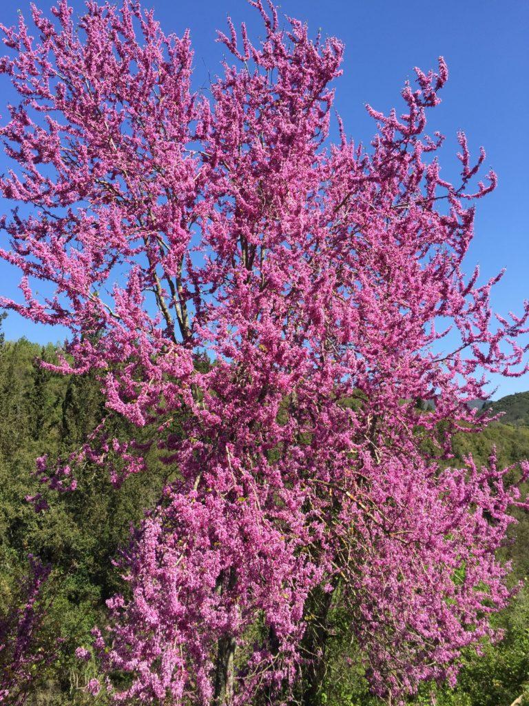 Boom in bloei op Corfu